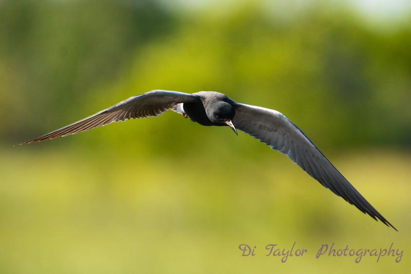 Black Tern hovering
