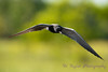 Black Tern hovering