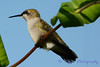 Jeuvenile Ruby throated hummingbird in honeysuckle trumpet vine 8