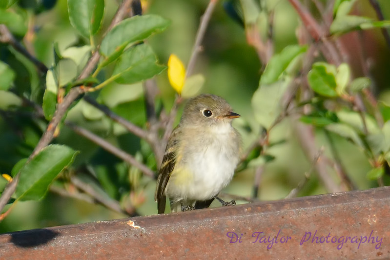Least Flycatcher  Aug 16 2017