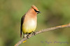Cedar Waxwing  27 Jul 2017