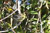 Blackpoll Warbler Sep 16 2020