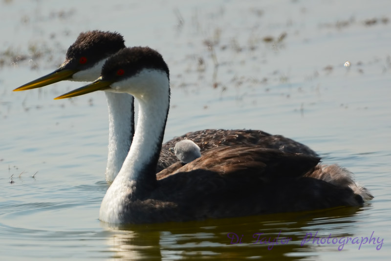 Western Grebe couple carrying baby