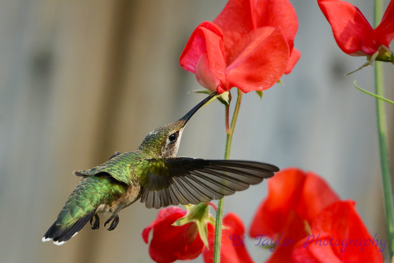 Female Ruby Throated Hummingbird with sweet peas