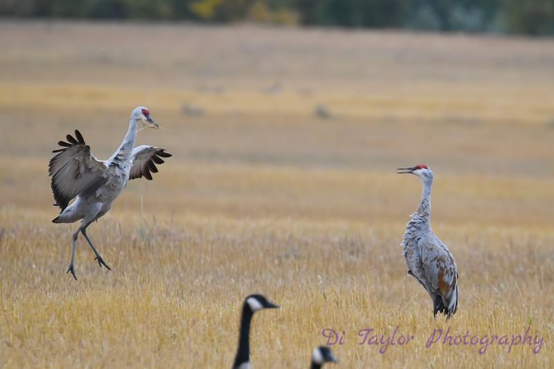 Sandhill Cranes Fall Migration 3 Sep 15 2018