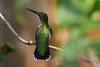 Female Ruby Throated Hummingbird in lilac tree 6