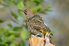 Northern Flicker 2  27 Jul 2017