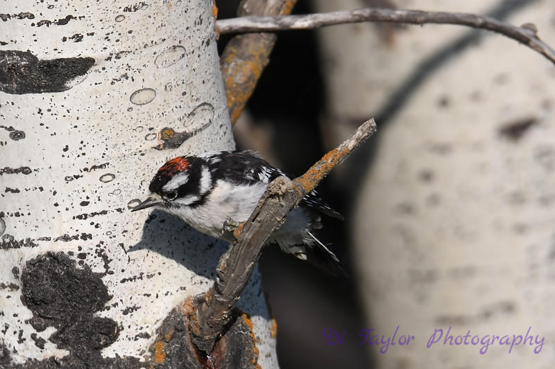 Downy Woodpecker 4 July 29 2018