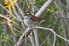 White throated Sparrow Sep 8 2018
