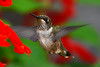 Young Male Hummingbird in Red Sage flowers