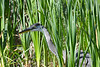 Great Blue Heron 3 Aug 2 2020
