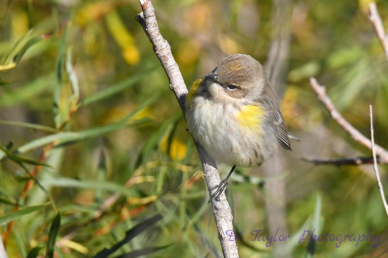 Yellow rumped Warbler 3 Sep 16 2020