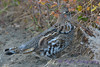 Ruffed Grouse 4 Oct 14 2017