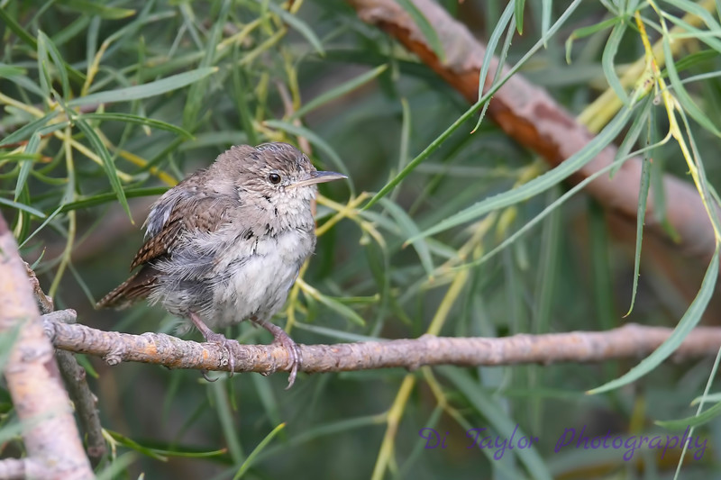 House Wren juvenile Aug 7 2018
