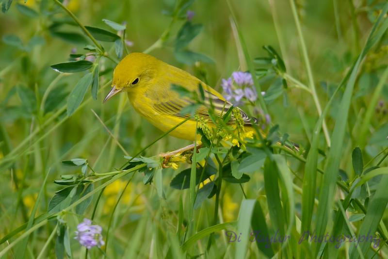Yellow Warbler in wild flowers 2
