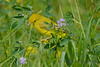 Yellow Warbler in wild flowers 2