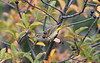 Palm Warbler 2Sep 12 2020