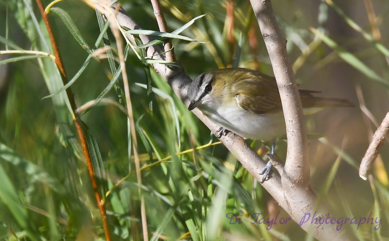 Red Eyed Vireo 9 Sep 7 2018