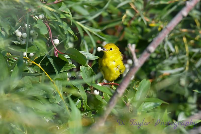 Yellow Warbler Aug 7 2018
