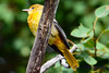 Baltimore Oriole Adult Female 2