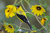 American Goldfinch male  2  in Daisies Aug 16 2017