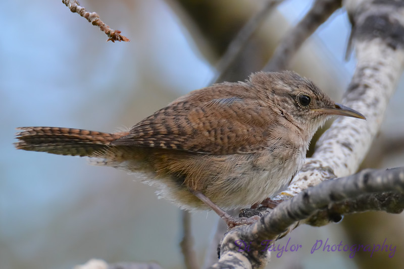 Winter wren 28 Jul 2017