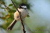Chickadee in tree 2  Aug 17 2017