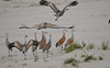 Sandhill Cranes 2 Sep 14 2020