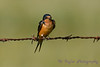 Barn Swallow 2 Aug 25 2017