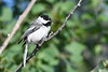 Black Capped Chickadee 7 Jul 2019