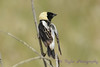 Bobolink male from back 2