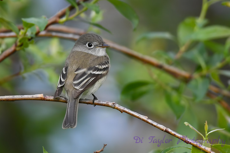 Least Flycatcher 2  27 May 2018