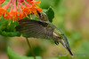 Female Ruby Throated Hummingbird with honeysuckle trumpet flower 31