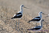 American Avocets in fall migration 2