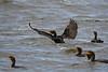 Cormorant Landing Sep 9 2018
