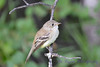 Least Flycatcher 16