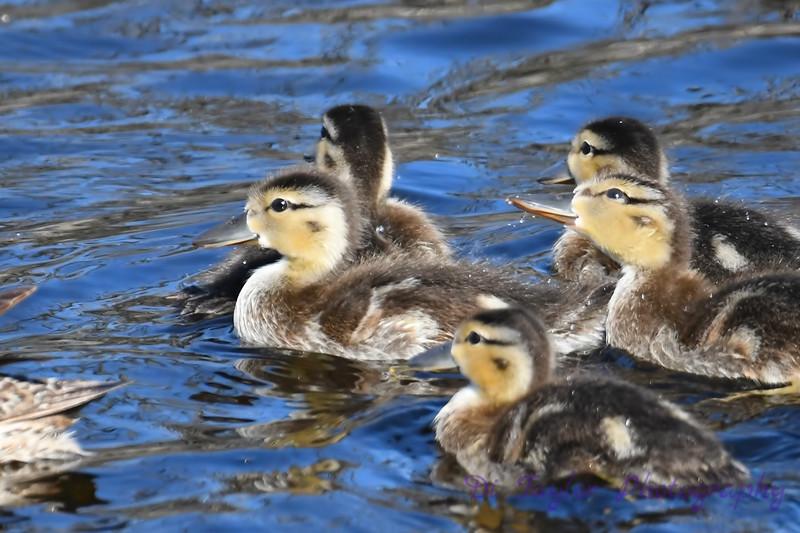 Teal Ducking babies July 15 2018