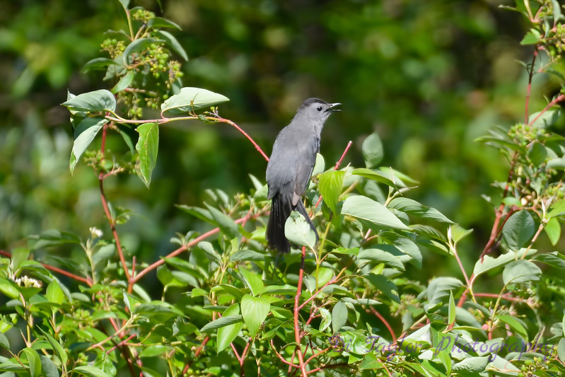 Gray Catbird July 4 2017