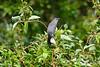 Gray Catbird July 4 2017