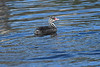 Horned Grebe baby July 2 2018