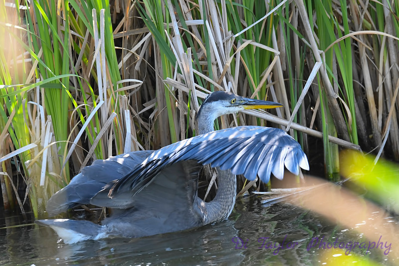 Great Blue Heron 9 Aug 2 2020