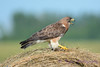 Swainsons Hawk on hay bale