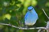 Mountain Bluebird male 4  June 16 2018