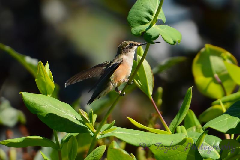 Female Ruby Throated Hummingbird sitting on vine