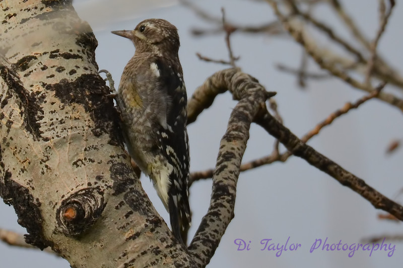 Yellow Bellied Sapsucker juvenile Aug 20 2017