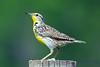 Meadowlark 3