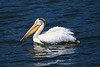 American White Pelican June 27 2018