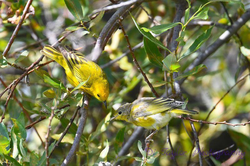Yellow Warbler male feeding baby 4