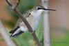 Young Hummingbird in lilac tree