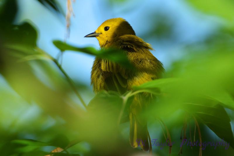 Warbler in tree 2